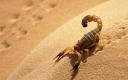 scorpion-sahara-desert-algeria