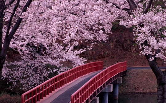 Cherry-Blossoms-Flowers-Bridge