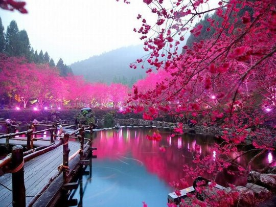 Japan In Full Bloom